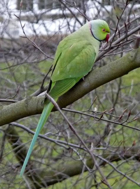 Ring Necked Parakeet (Psittacula krameri)