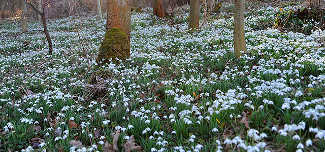 Snowdrops in the woods at Cambo