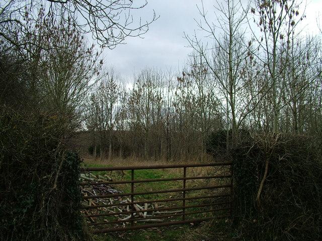 Ash copse near Penny Hill