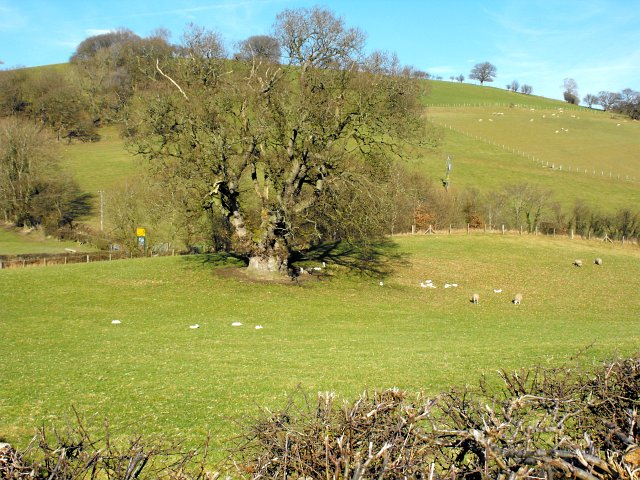 Oak tree and lambs
