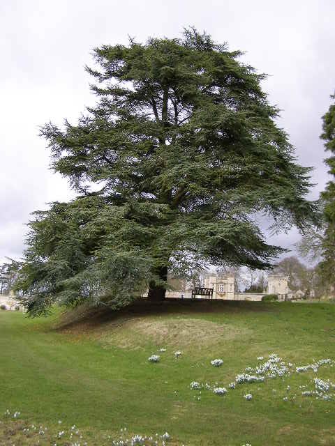 Atlantic Cedar, Easton Walled Gardens