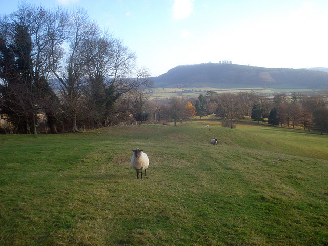 Sheep pasture near Wigmore Hall