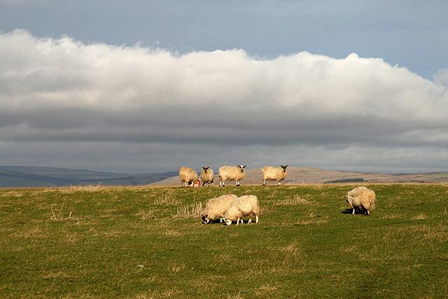 Grazing sheep on Bowden Moor