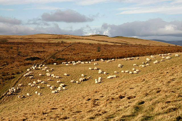 Sheep on Bowden Moor