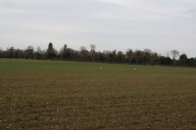 Swans in the field