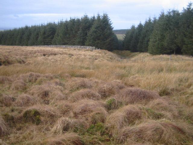 The Drum - forest near High Glenmuir