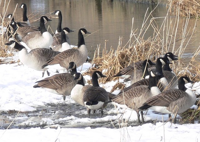 Canada Geese at the Packhorse Bridge