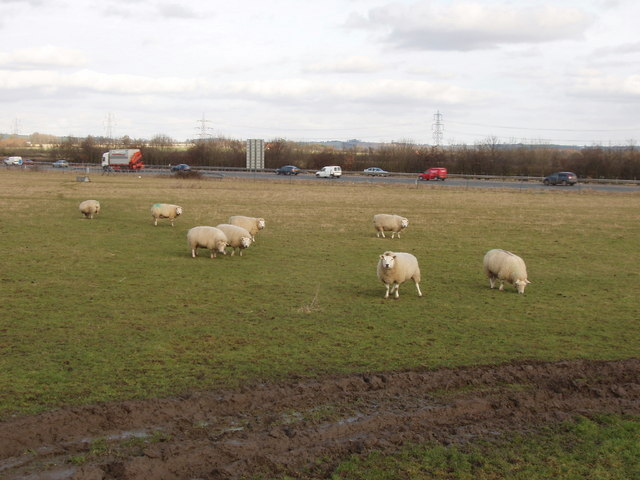 Sheep by the M40 near Waterperry