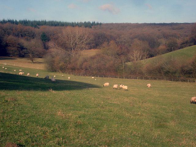 Sheep pasture on Woodhampton Farm
