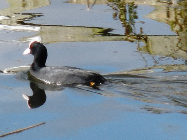 Coot, on the Grand Western Canal