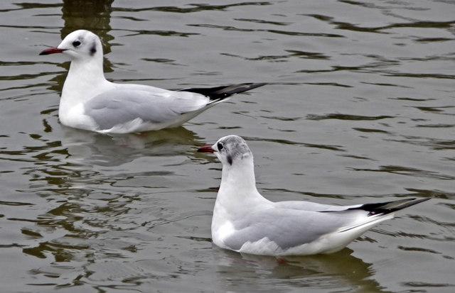Black Headed Gulls (Larus ridibundus)