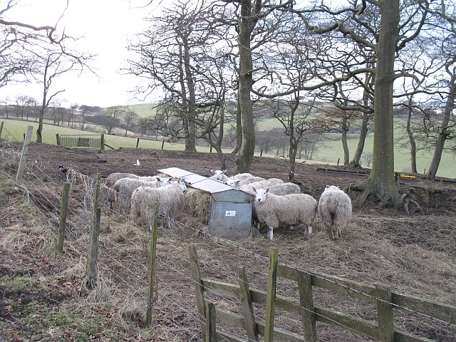 Dry sheep,  Knock