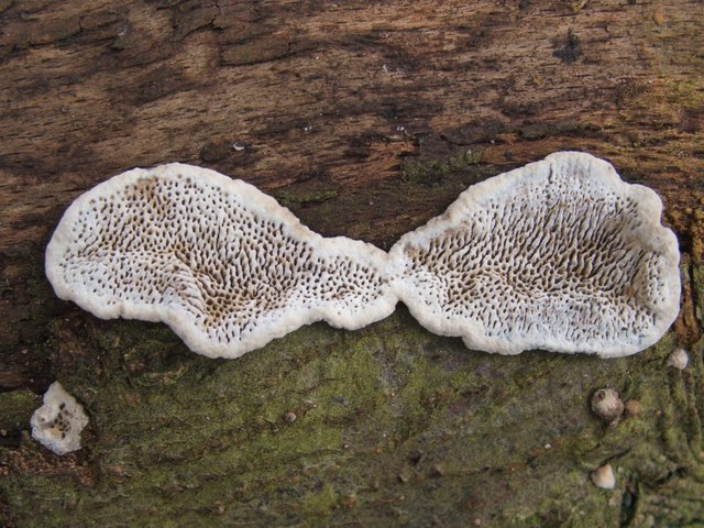 Common Mazegill fungus (Datronia mollis)