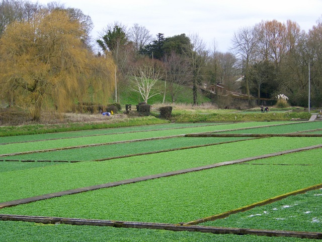 Watercress beds, Broad Chalke