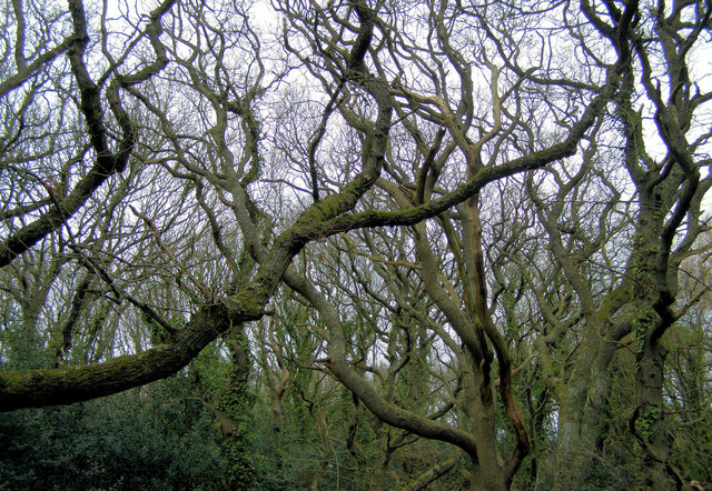 An eccentric tangle of trees at Cooden Moat, Bexhill