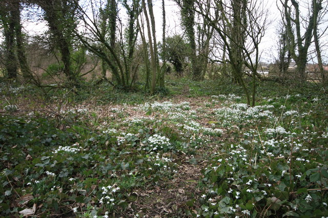 Snowdrops in Wood at Preesall