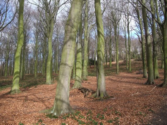 Beech trees, Manor Hills wood
