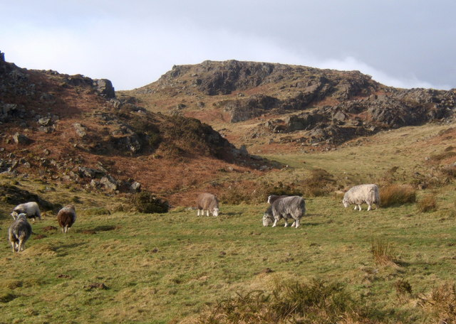 Sheep on Lowscales Bank