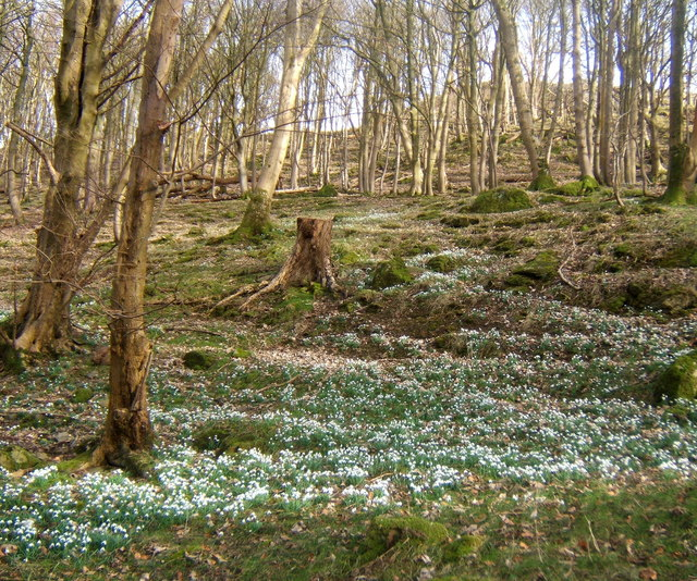Snowdrops and steep woodland