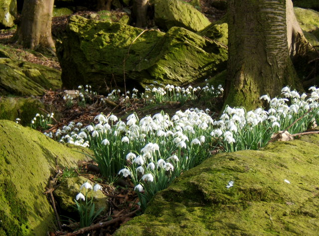Snowdrops in steep rocky woodland