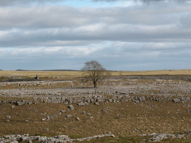 Solitary ash on limestone pavement