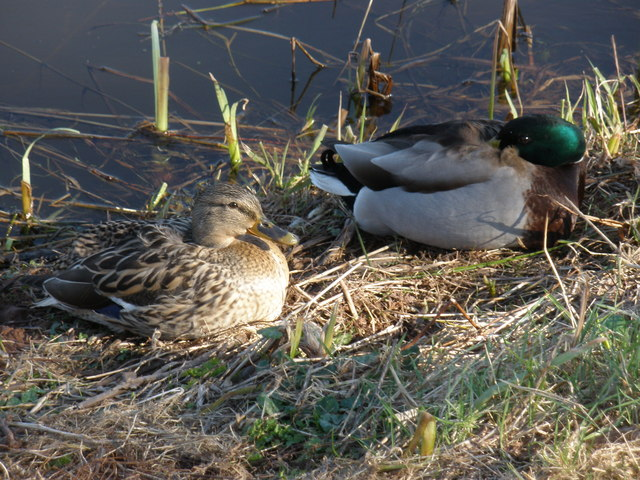A pair of Mallards, roosting by the canal