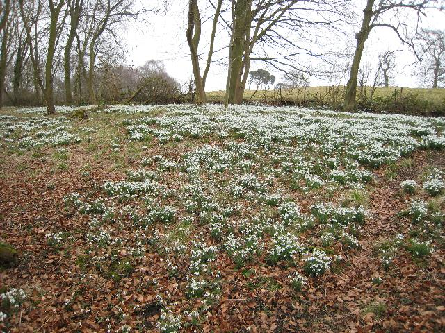 Snowdrops in Dimminsdale Woods