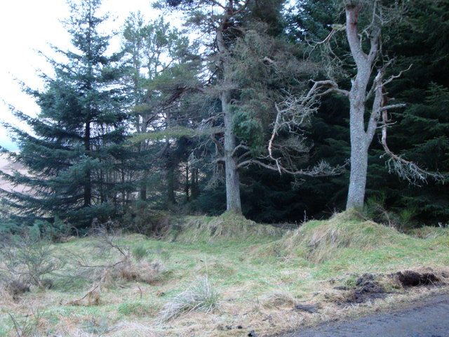 Wall with Caledonian Pines