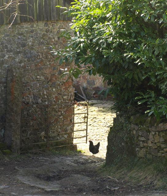 Chicken, Well Meadow Barn