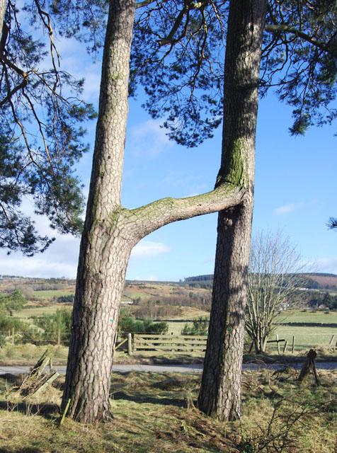 The Twin Trees of Finzean
