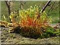 NS3878 : Capillary Thread-moss (Bryum capillare) : Week 8