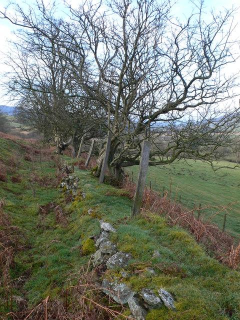 Old hedgerow near Llandegla Forest