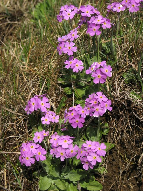 Bird's-eye primrose (Primula farinosa) on banks of the River Tees