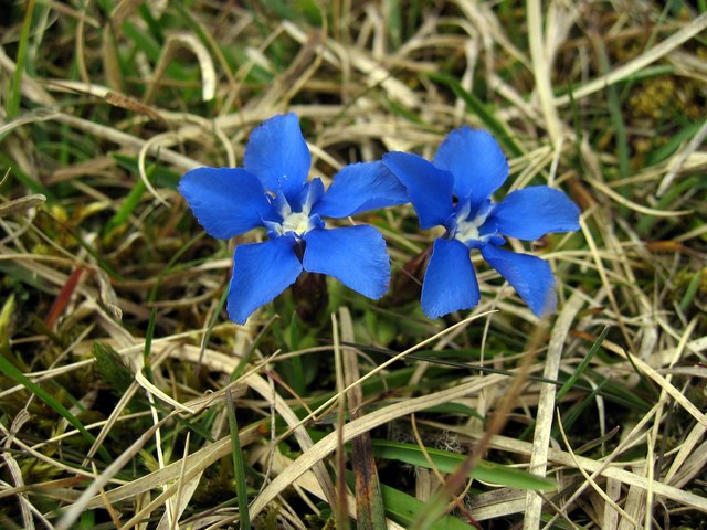 Spring Gentian (Gentiana verna), Cronkley Fell