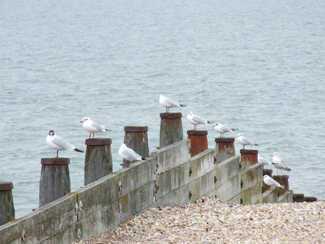 Gulls at Whitstable