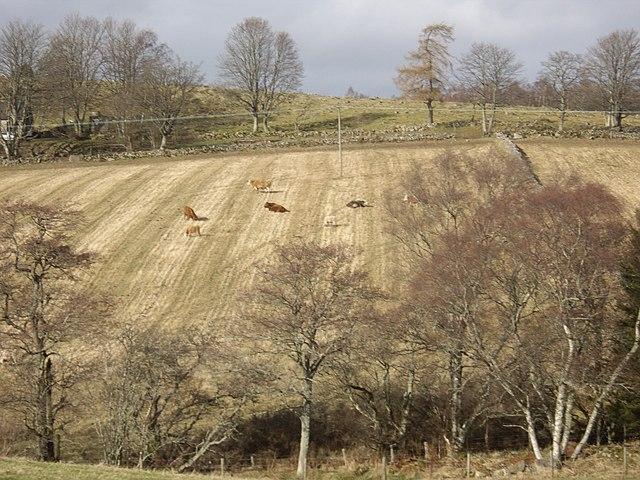 Cattle on stubble