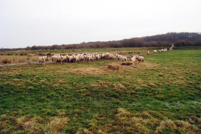 Sheep near Friezingham Farm