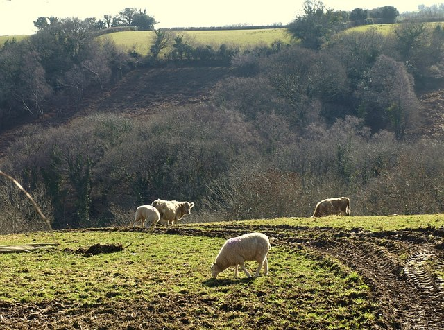 Cattle and sheep above the Holy Brook valley
