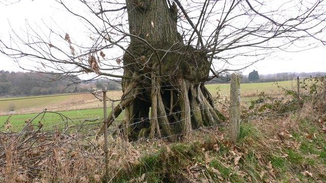 Tree on stilts