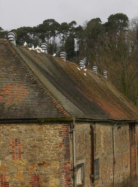 White doves on barn roof
