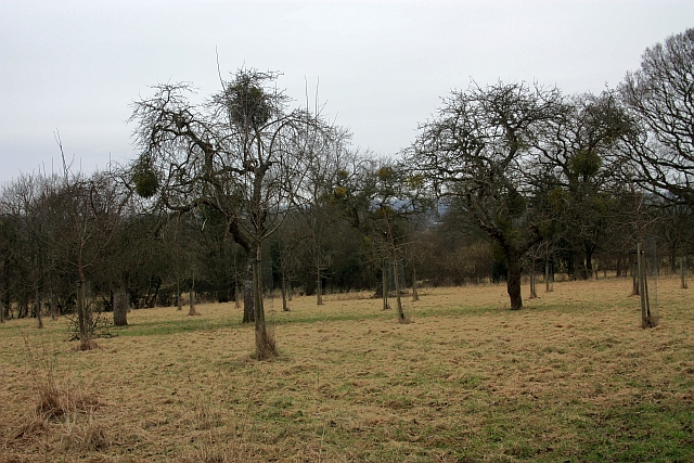 Mature Orchard near Lower House