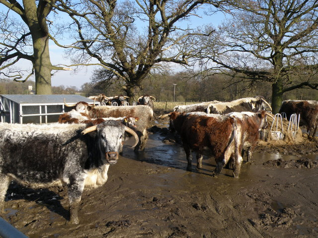 Pure Bred English Longhorn Cattle