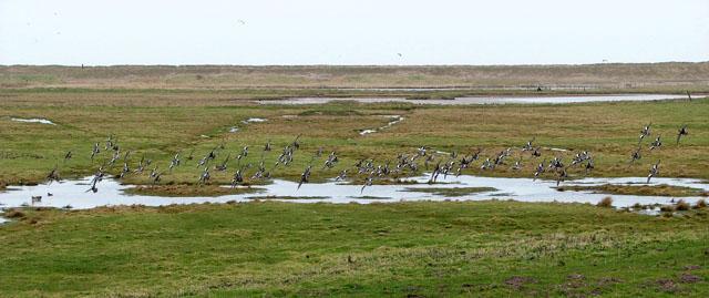 Wigeon landing in marsh pasture