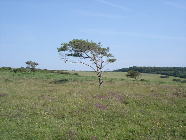 Lullington Heath - a solitary tree