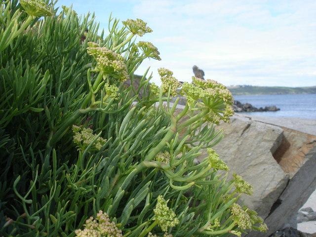 Rock Samphire - Crithmum maritimum - on Porthbean Beach