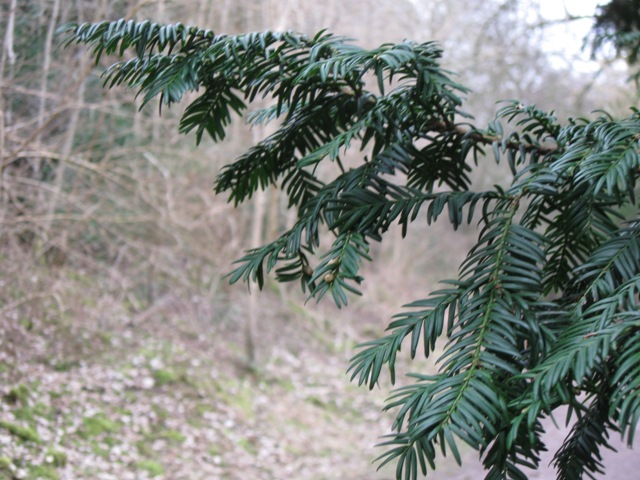 Yew in Wendover Woods