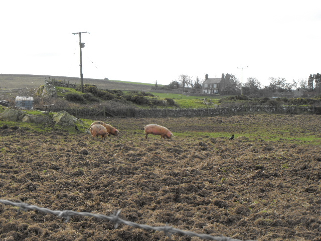 Free range rare breed pigs at  Plas Cemlyn