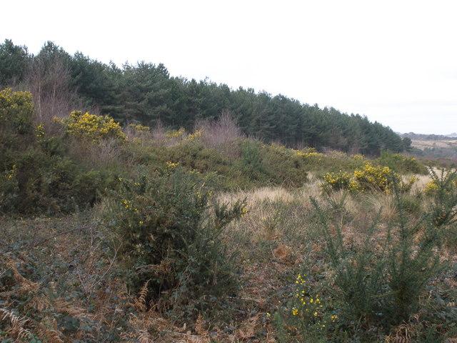 Conifers, at Dalditch Plantation