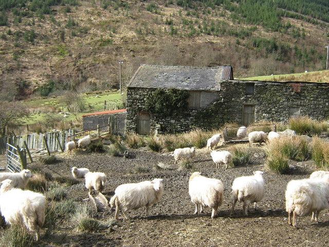 Sheep at Waenllefenni