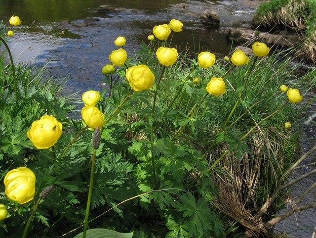 Globe Flowers (Trollius europaeus) beside the Tees